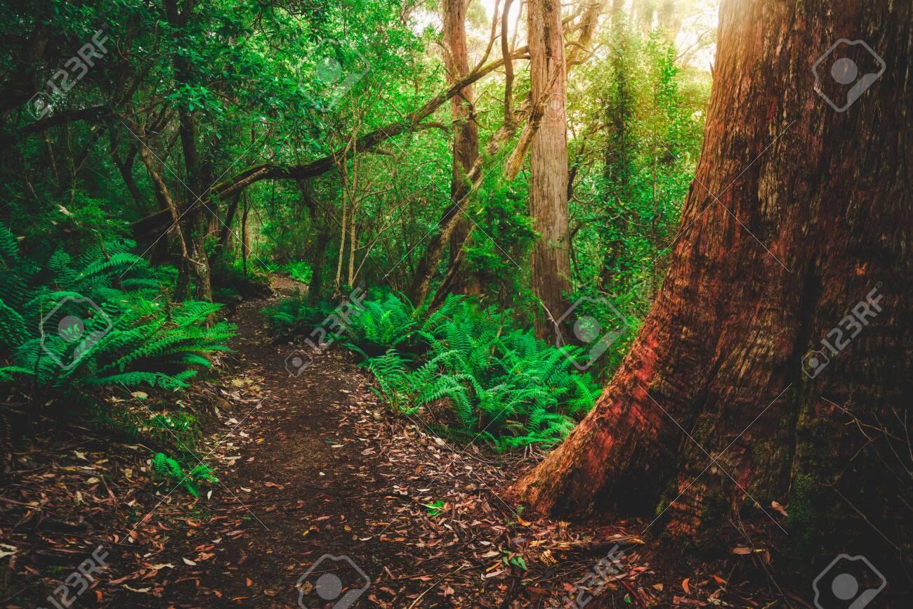 Beautiful path in lush tropical rainforest jungle in Tasman peninsula, Tasmania, Australia. The ancient jurassic age jungle is part of three capes track, famous bush walking of Tasmania, Australia. - 128655013