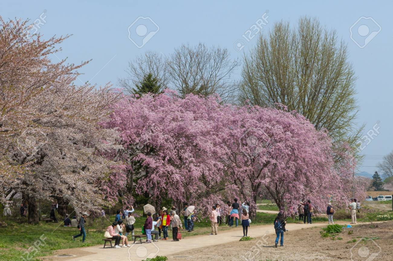 Fleurs De Cerisier Pleureur Ou Sakura Dans Le Parc De Tenshochi