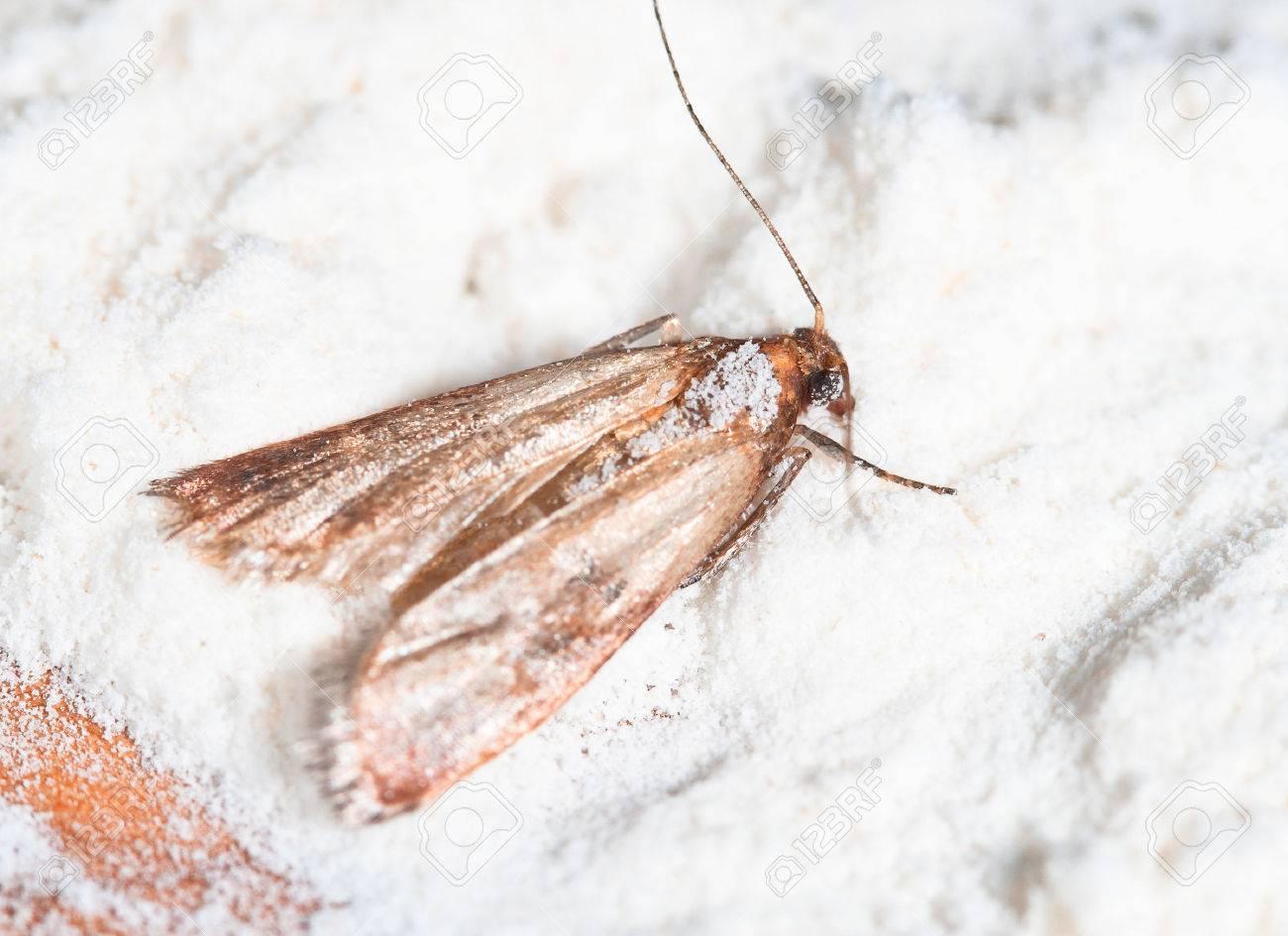 Flour Moth, Pantry Moth (Ephestia kuehniella) - 28075493