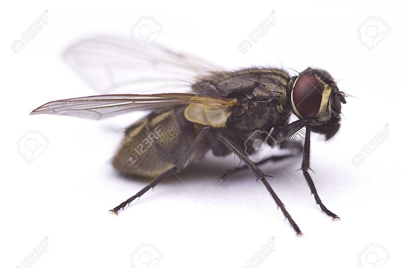 Common house fly macro cleaning its body (Musca Domestica) Isolated on white background. - 83730813