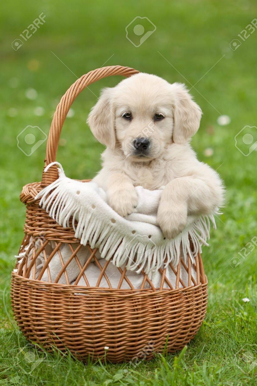 Golden Retriever puppy in a wicker basket - 12853959