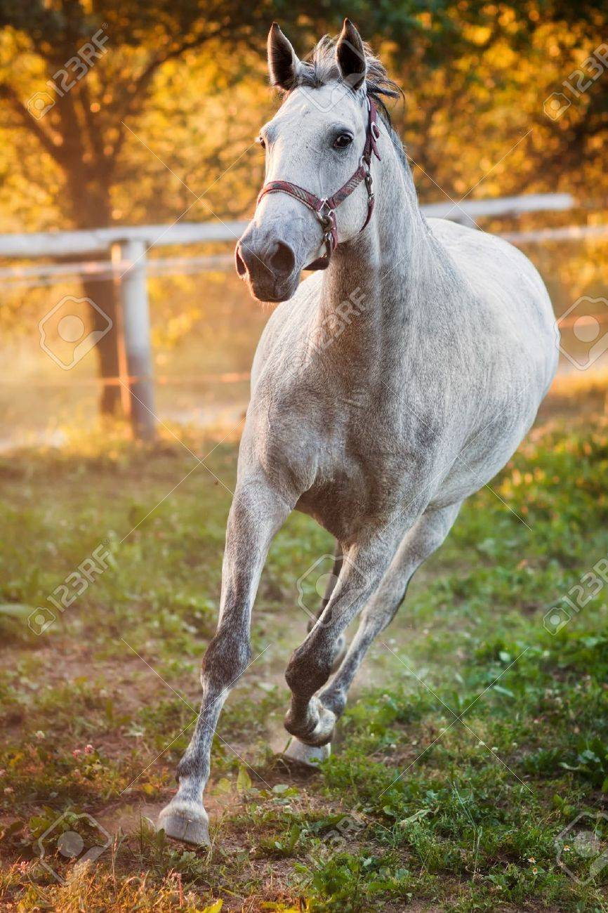 Portrait Of A Running Horse Stock Photo Picture And Royalty Free Image Image 12851246