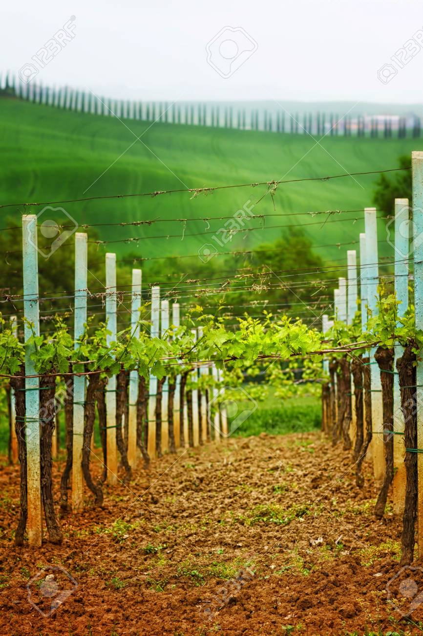 Llandscape in Tuscany - vineyard and alley trees Stock Photo - 12851037