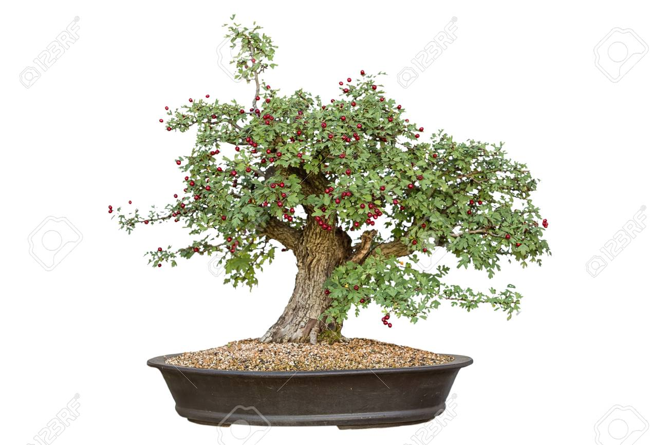 Bonsai Tree With White Background Stock Photo Picture And Royalty