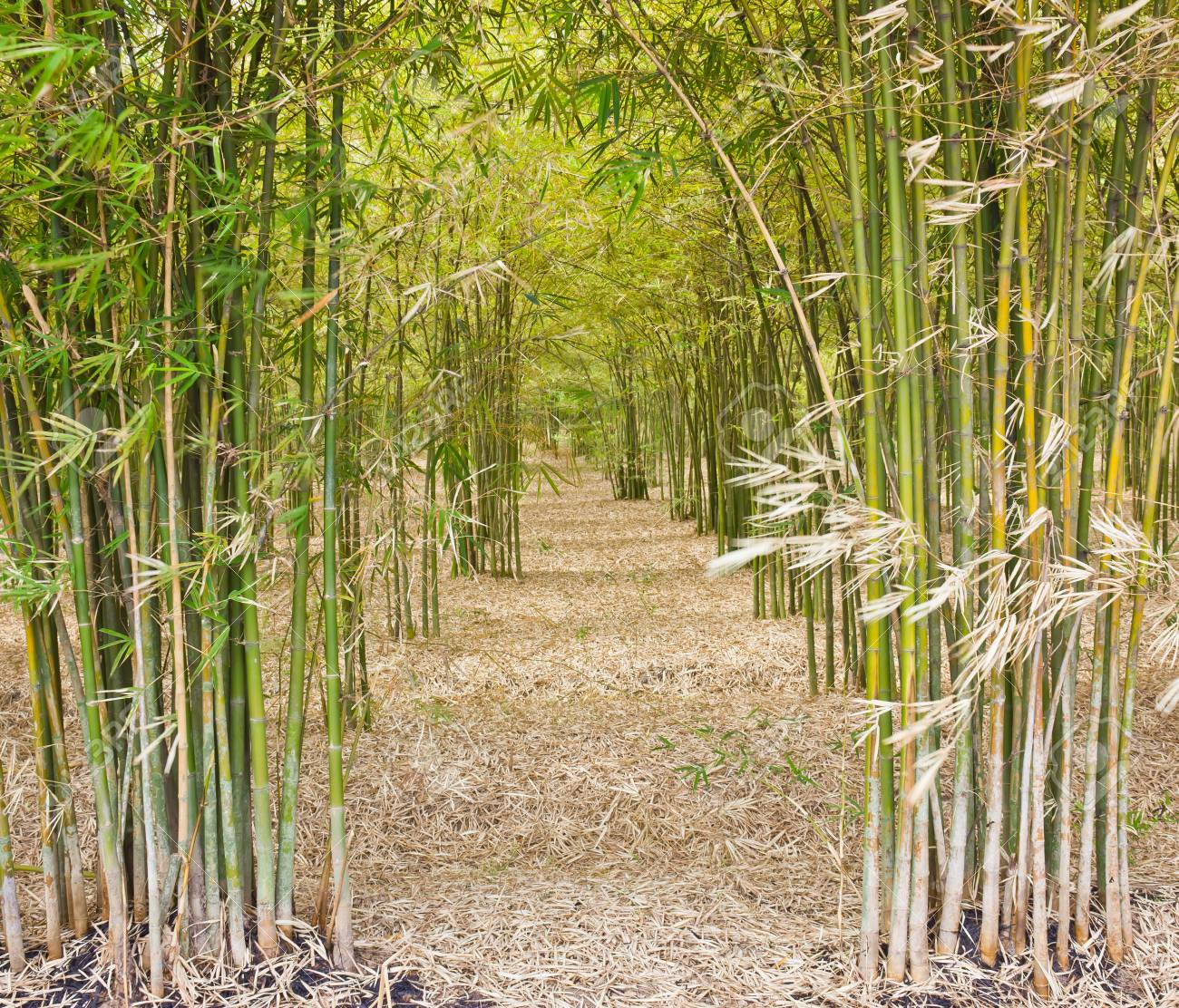 Through the bamboo more quiet. Stock Photo - 11798988