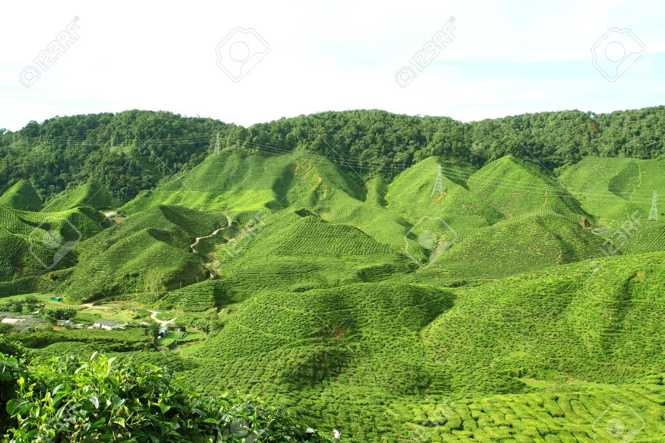 Tea Plantations at Cameron Highlands, Malaysia Stock Photo - 17454687