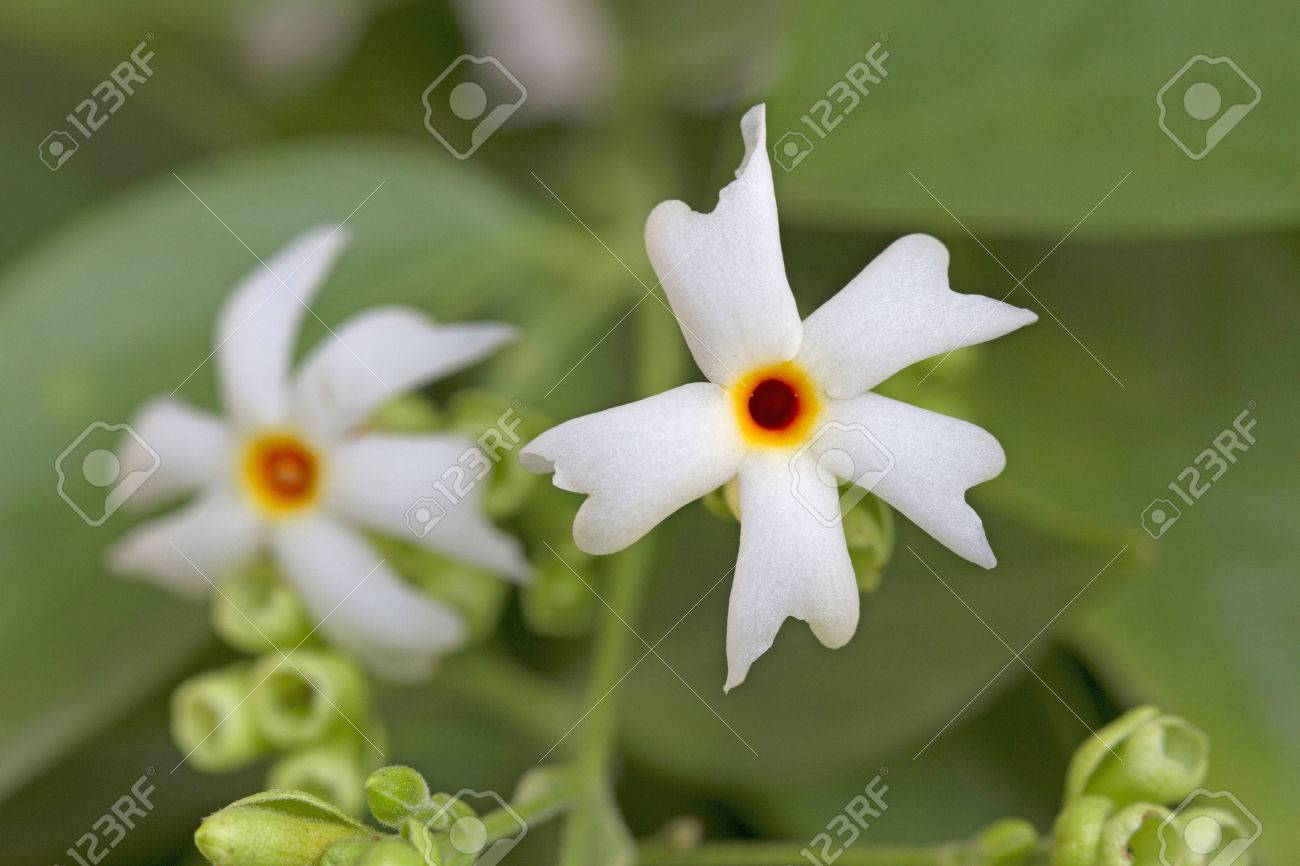 Night flower jasmine stock photo picture and royalty free image night flower jasmine stock photo 58641508 izmirmasajfo Image collections
