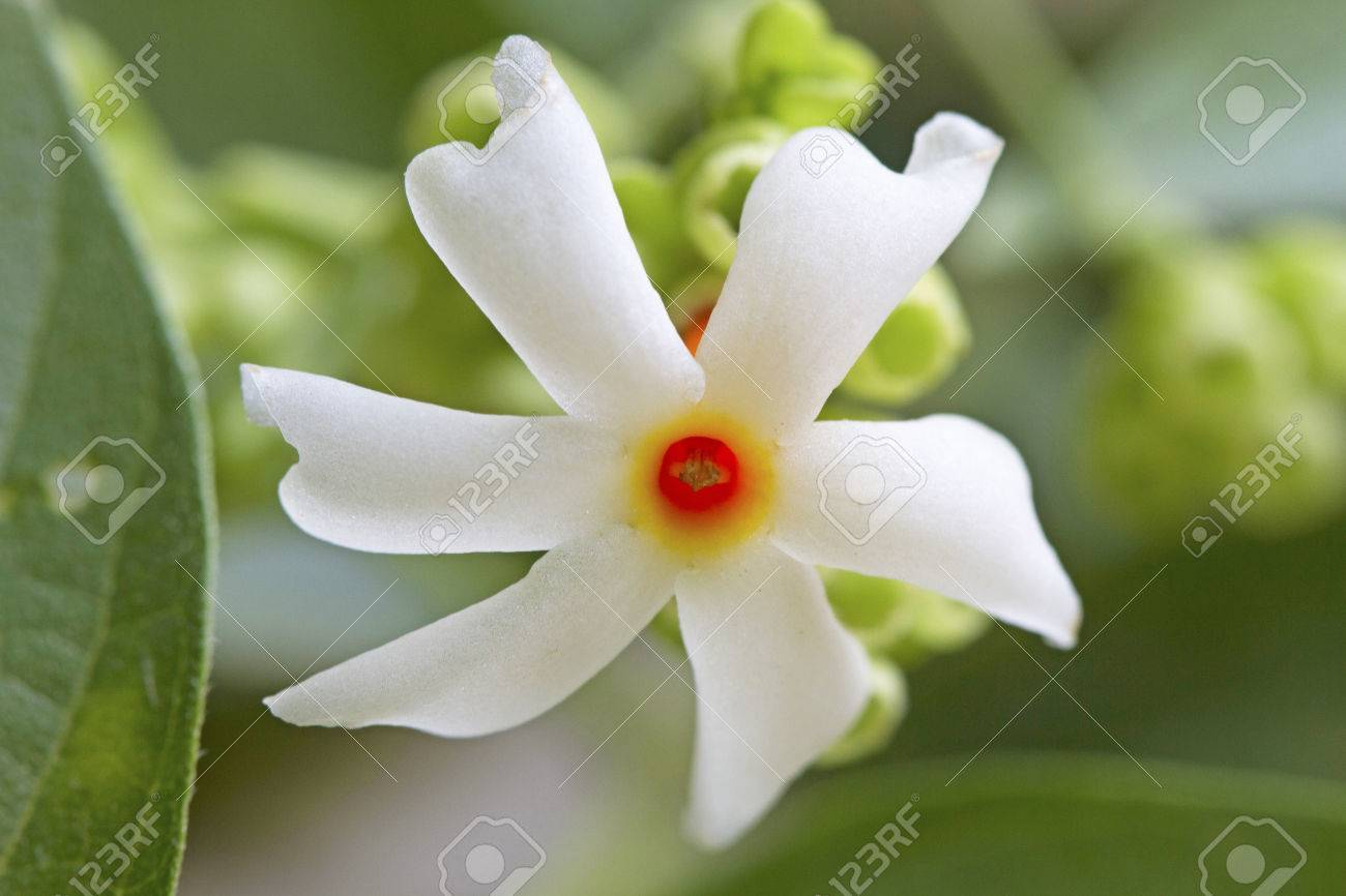Night Flower Jasmine Stock Photo Picture And Royalty Free Image Image 58641513