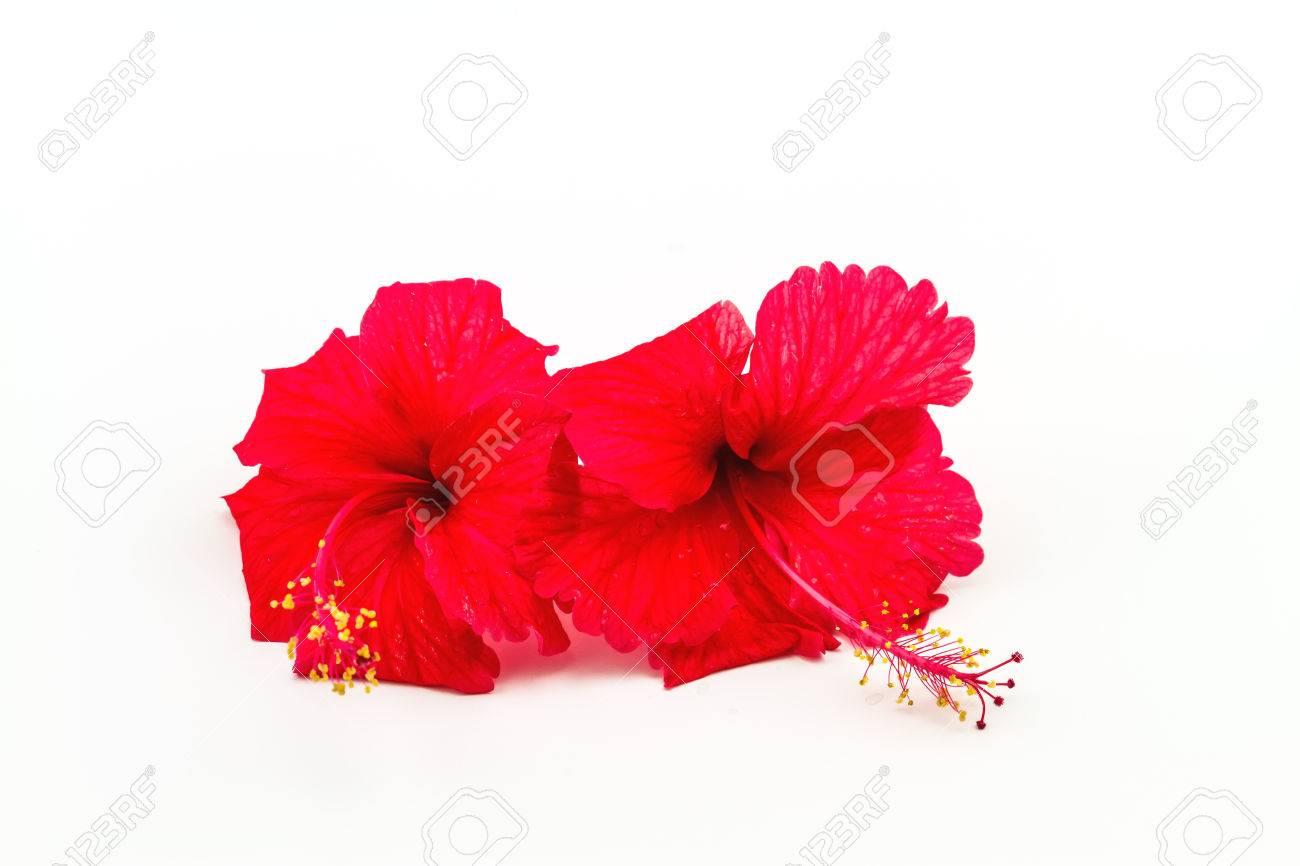 Macro Of Red China Rose Flower Chinese Hibiscus Hibiscus Rosa