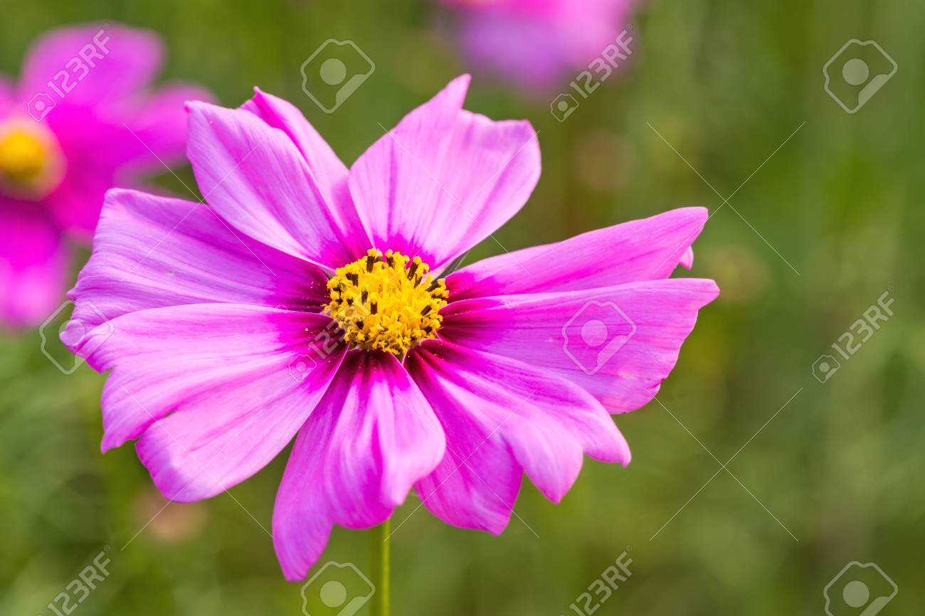 Pink Cosmos Flower Cosmos Bipinnatus With Blurred Background Stock