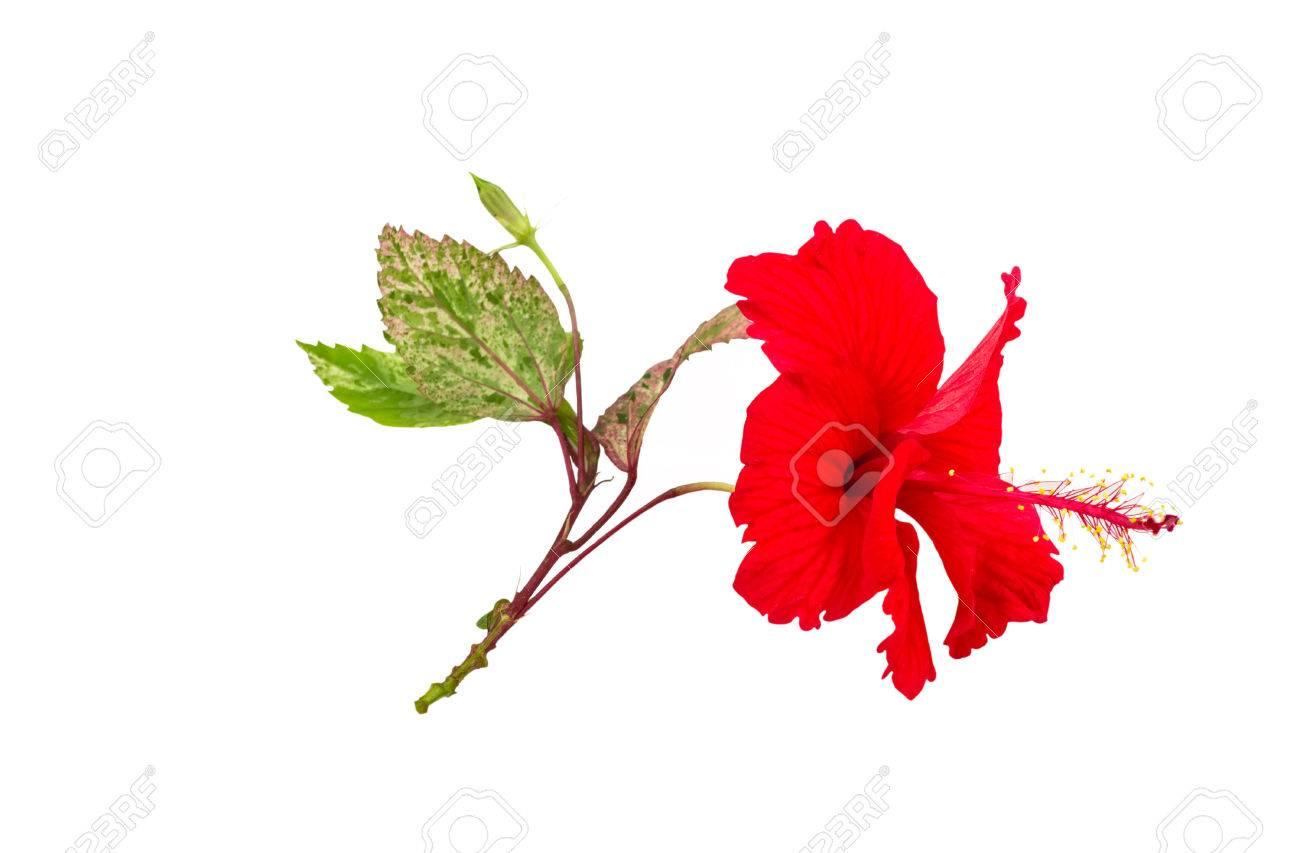 Macro Of Red China Rose Flower Chinese Hibiscus Flower Hibiscus