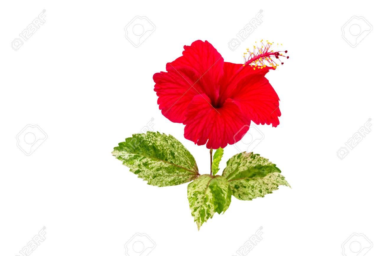Macro of red china rose flower chinese hibiscus flower hibiscus macro of red china rose flower chinese hibiscus flower hibiscus rosa sinensis flower izmirmasajfo