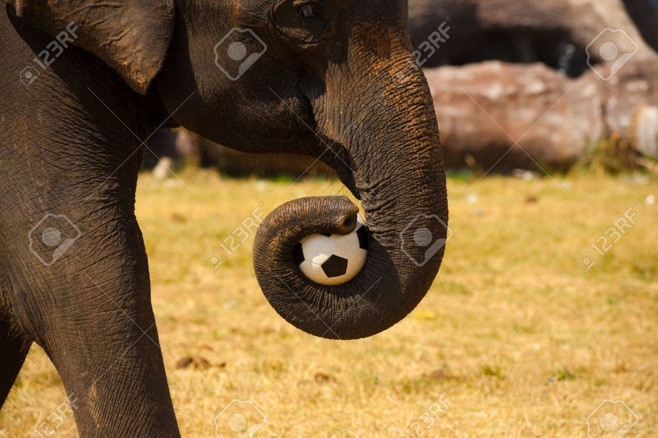 An elephant carries a soccer ball with its trunk to play with fellow elephants at the annual Surin Elephant Roundup in Isan, Thailand Stock Photo - 13699758