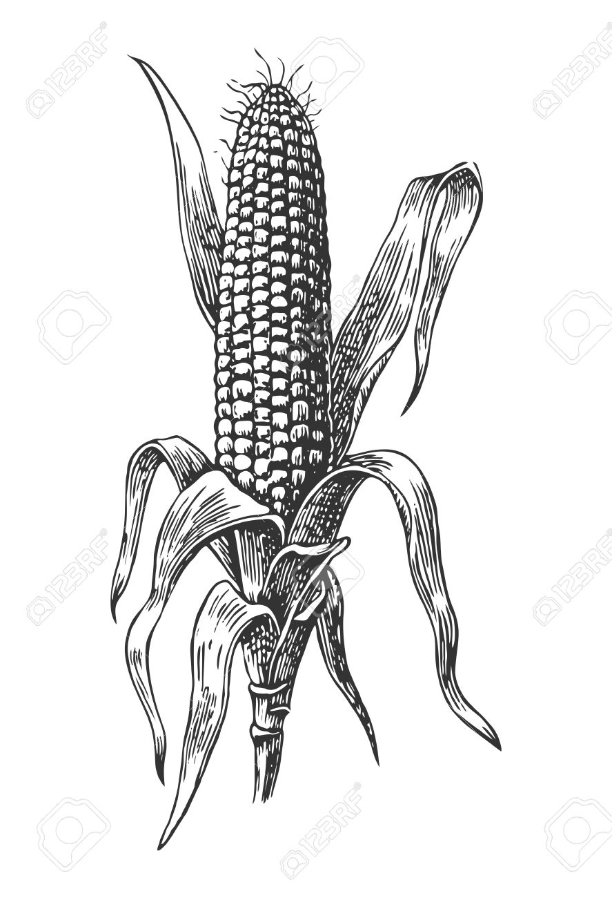 Ripe corn on the cob with leaf. Vector vintage engraving illustration. Isolated on white background - 55198407