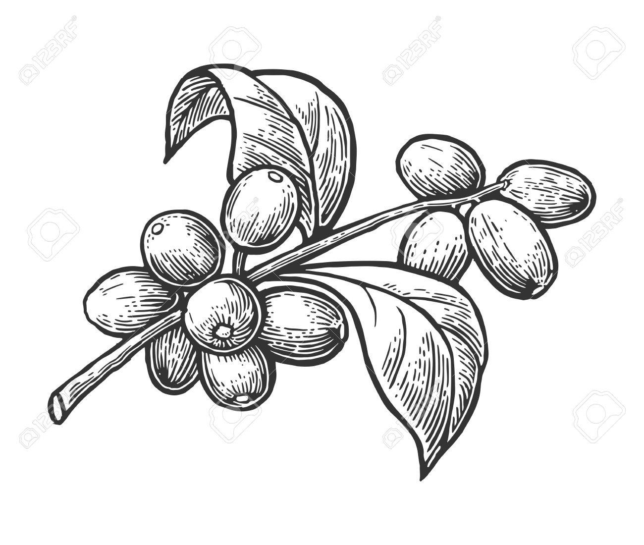 Coffee branch with leaf and berry. Hand drawn vector vintage engraving illustration on white background. - 56220805