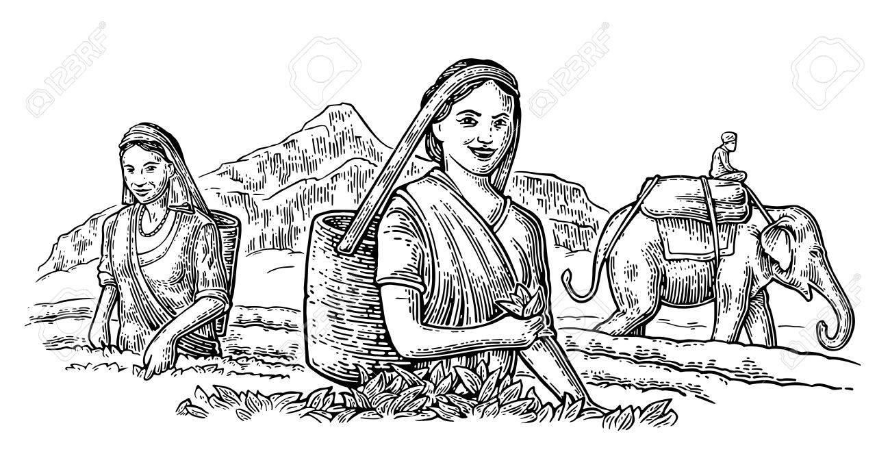 Female Tea Pickers Harvesting leaves on plantation and rider on elephant. Vector engraved vintage isolated illustration for label, poster, web. Black on white background. - 68034566