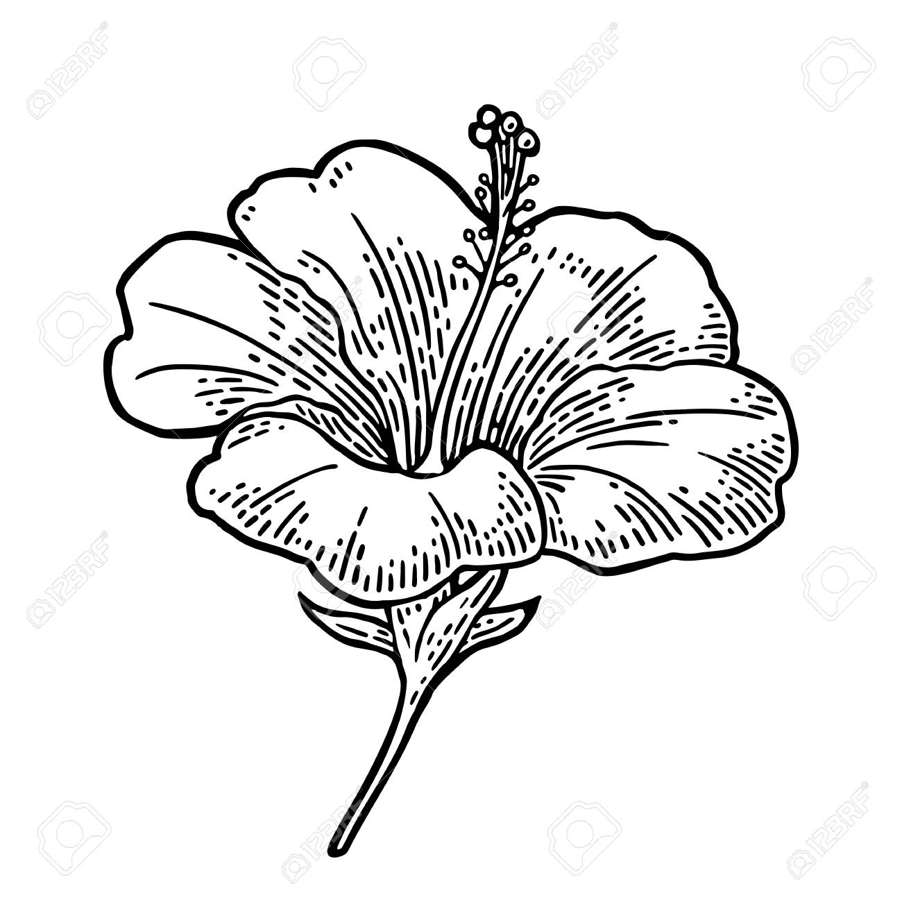 Hibiscus Flower Black Engraving Vintage Illustration Isolated
