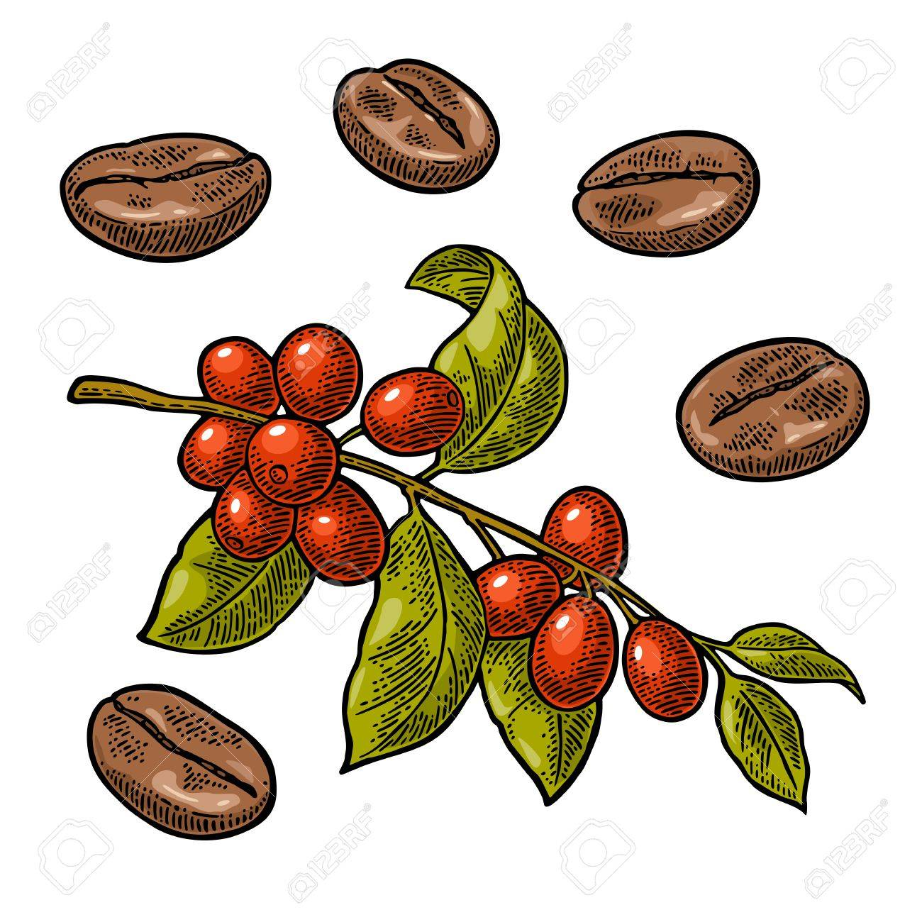Coffee bean, branch with leaf and berry. Hand drawn vector vintage engraving color illustration on white background. - 86204939