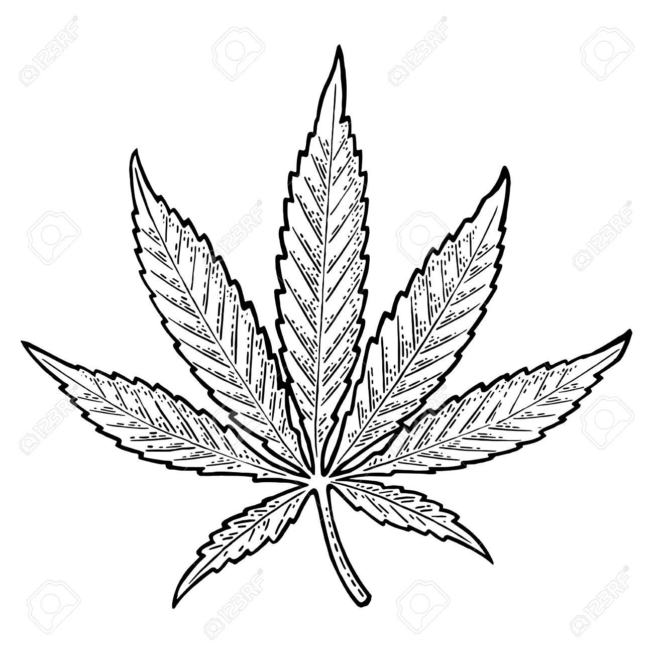 Marijuana leaf. Vintage black vector engraving illustration - 88032432