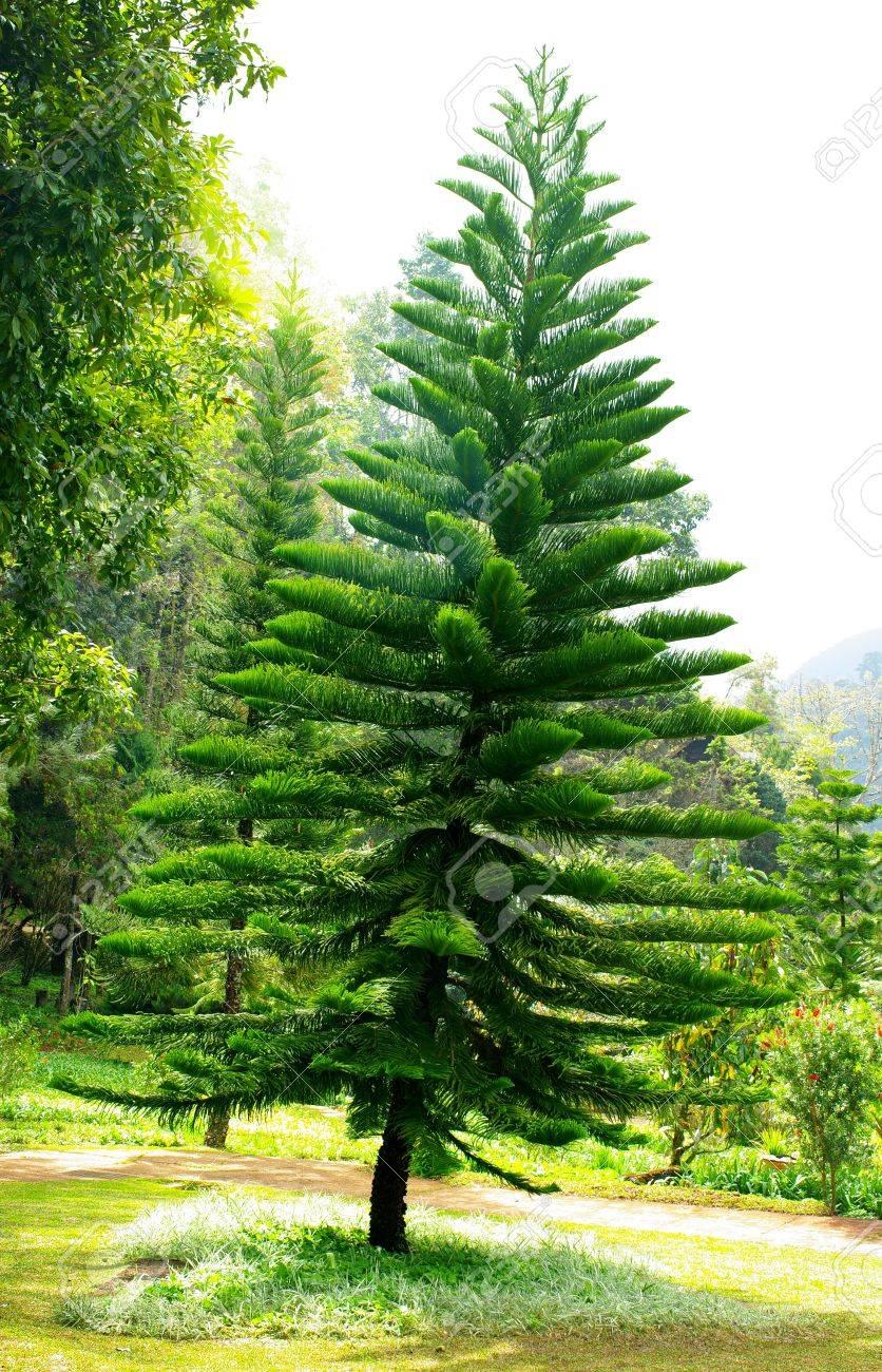 Amazing Pine Tree In Garden, Thailand Stock Photo   14845655