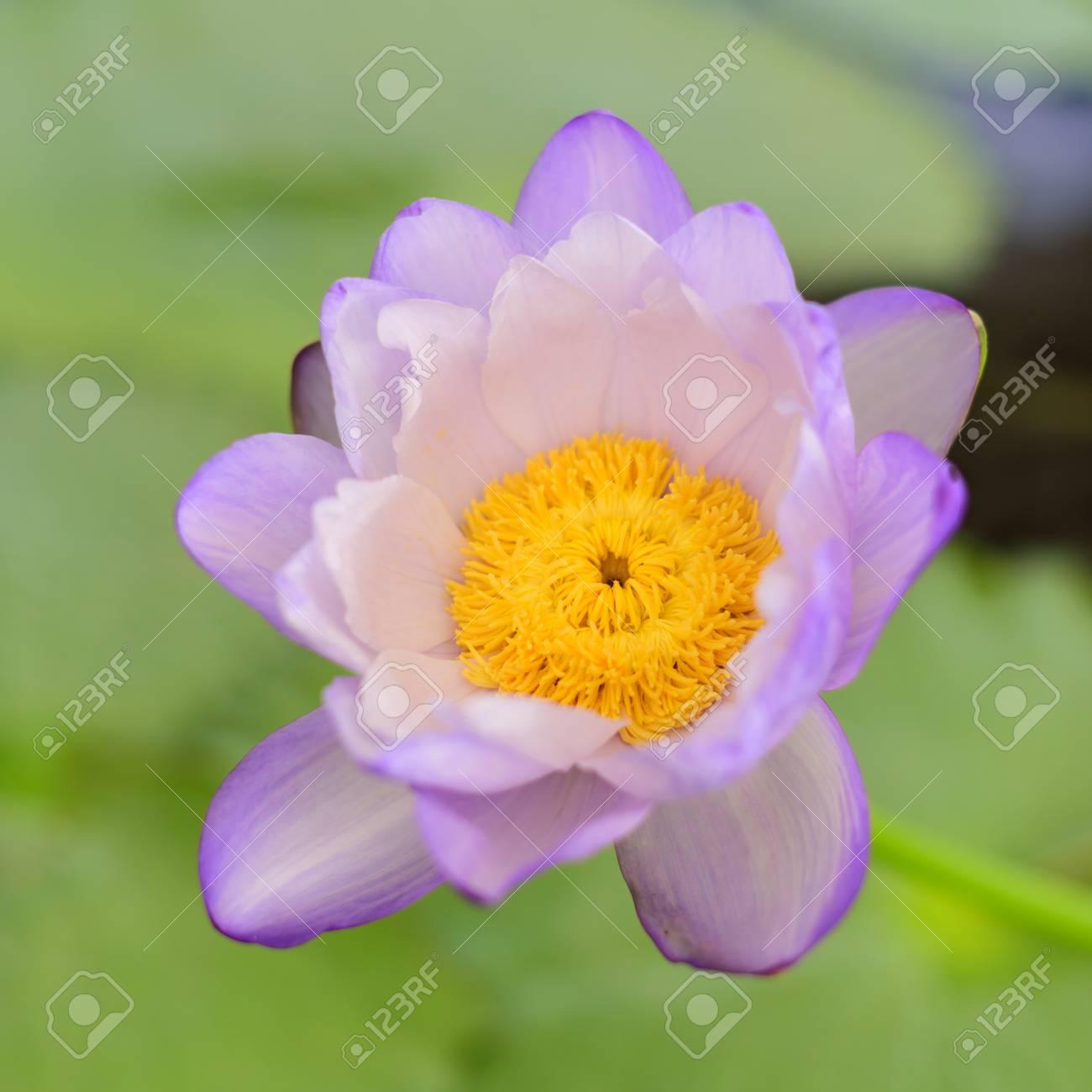 Nice blooming lotus flower at pool stock photo picture and royalty nice blooming lotus flower at pool stock photo 85324570 izmirmasajfo