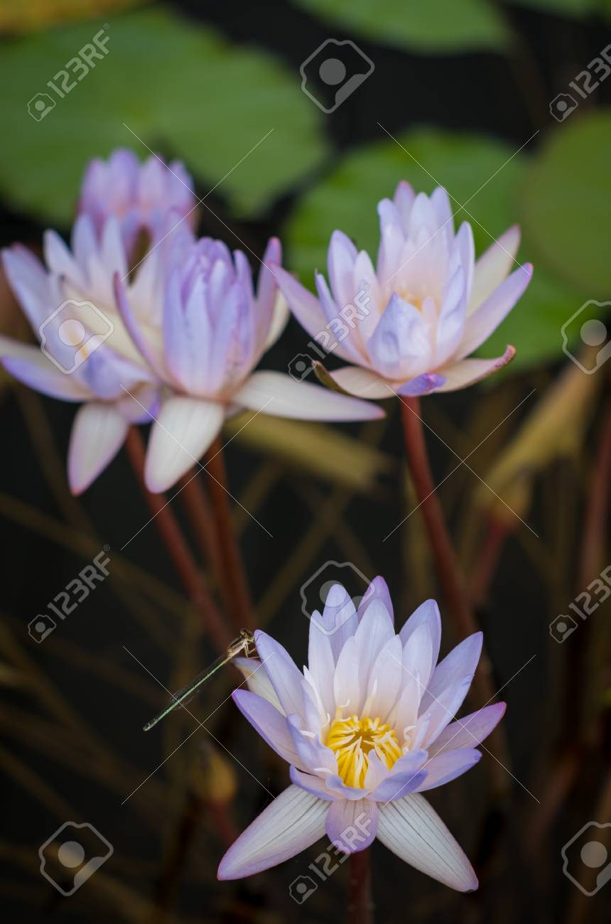 Nice blooming lotus flower at pool stock photo picture and royalty nice blooming lotus flower at pool stock photo 87406932 izmirmasajfo