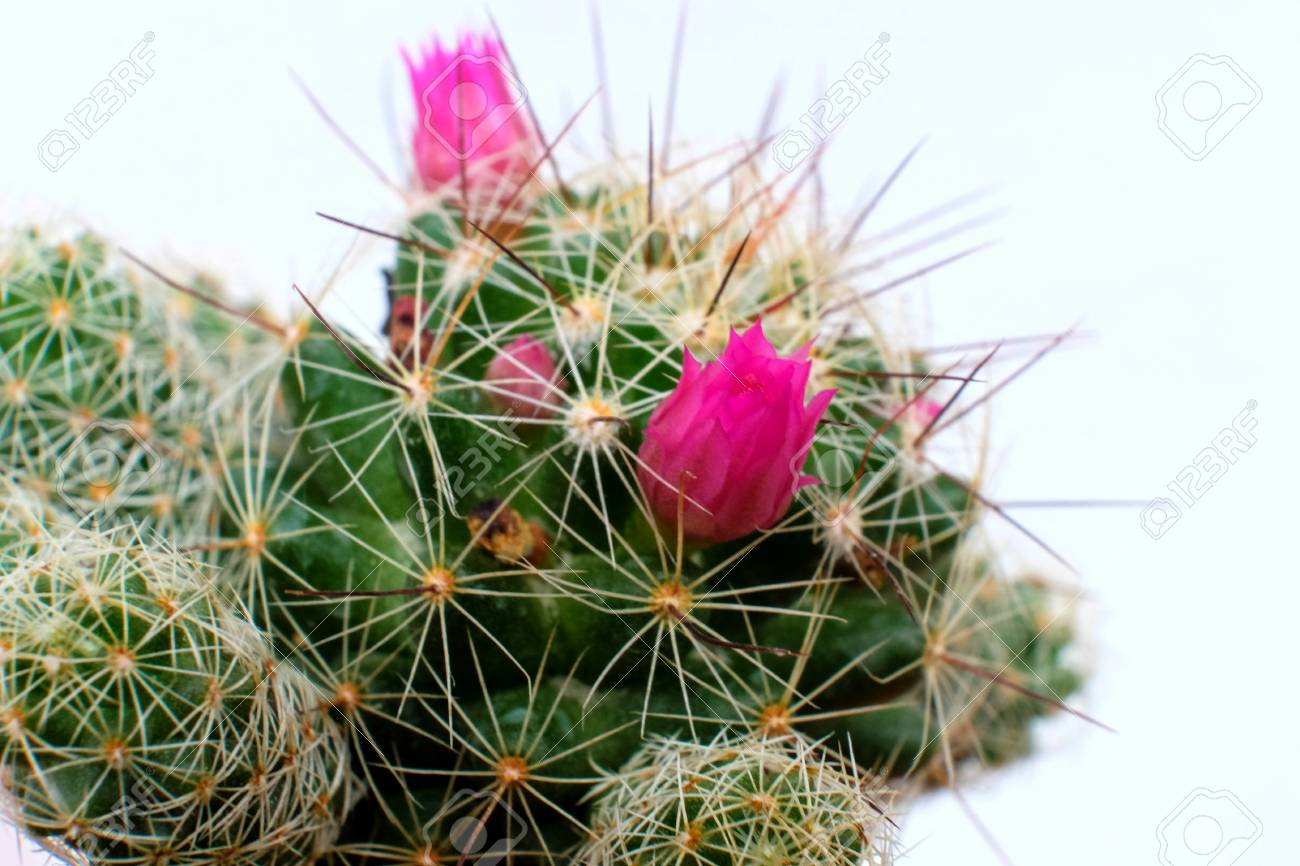 Beautiful Cactus Flower With Selective Focus Stock Photo Picture