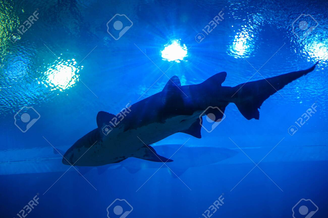 Shark in an Aquarium, Thailand - 132021194