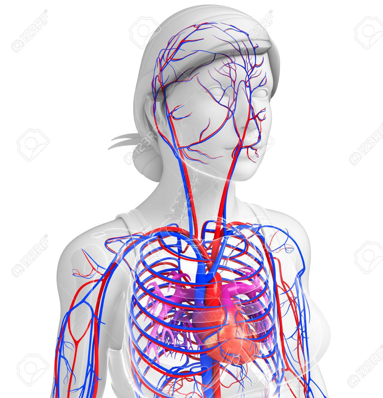 Illustration Of Female Heart Circulatory System Stock Photo Picture