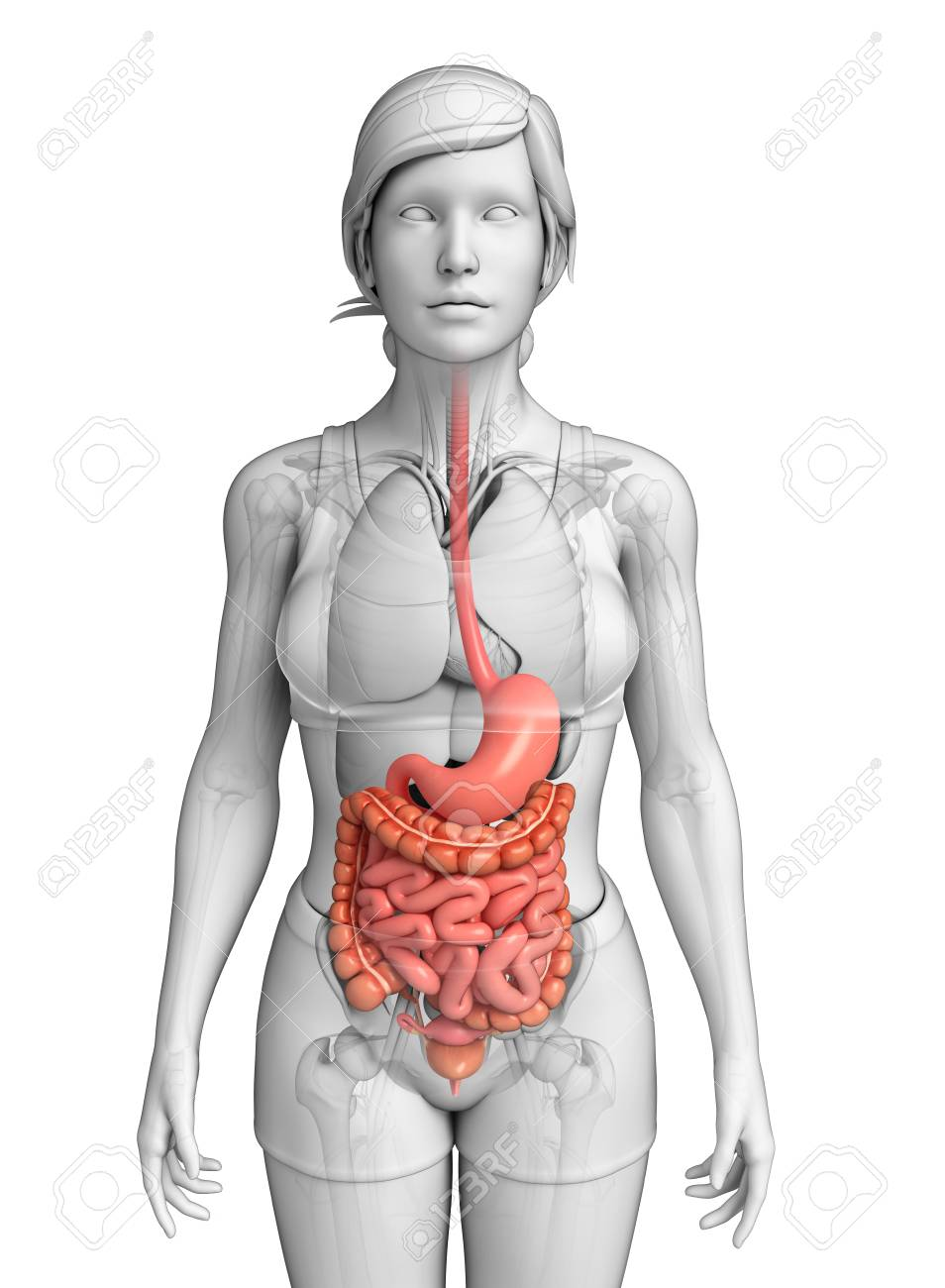Illustration Of Female Small Intestine Anatomy Stock Photo, Picture ...