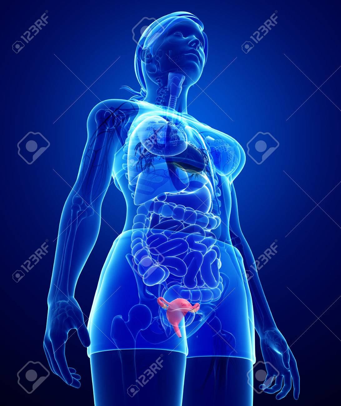 Illustration Der Weiblichen Anatomie Gebärmutter Lizenzfreie Fotos ...
