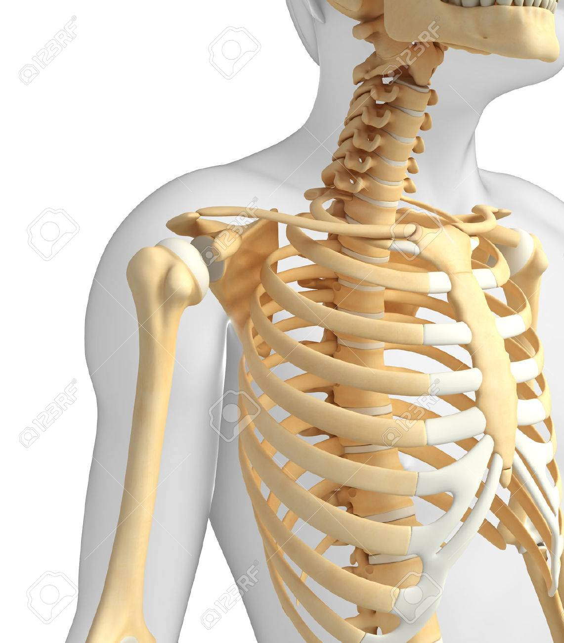 Illustration Of Shoulder Skeleton Stock Photo, Picture And Royalty ...