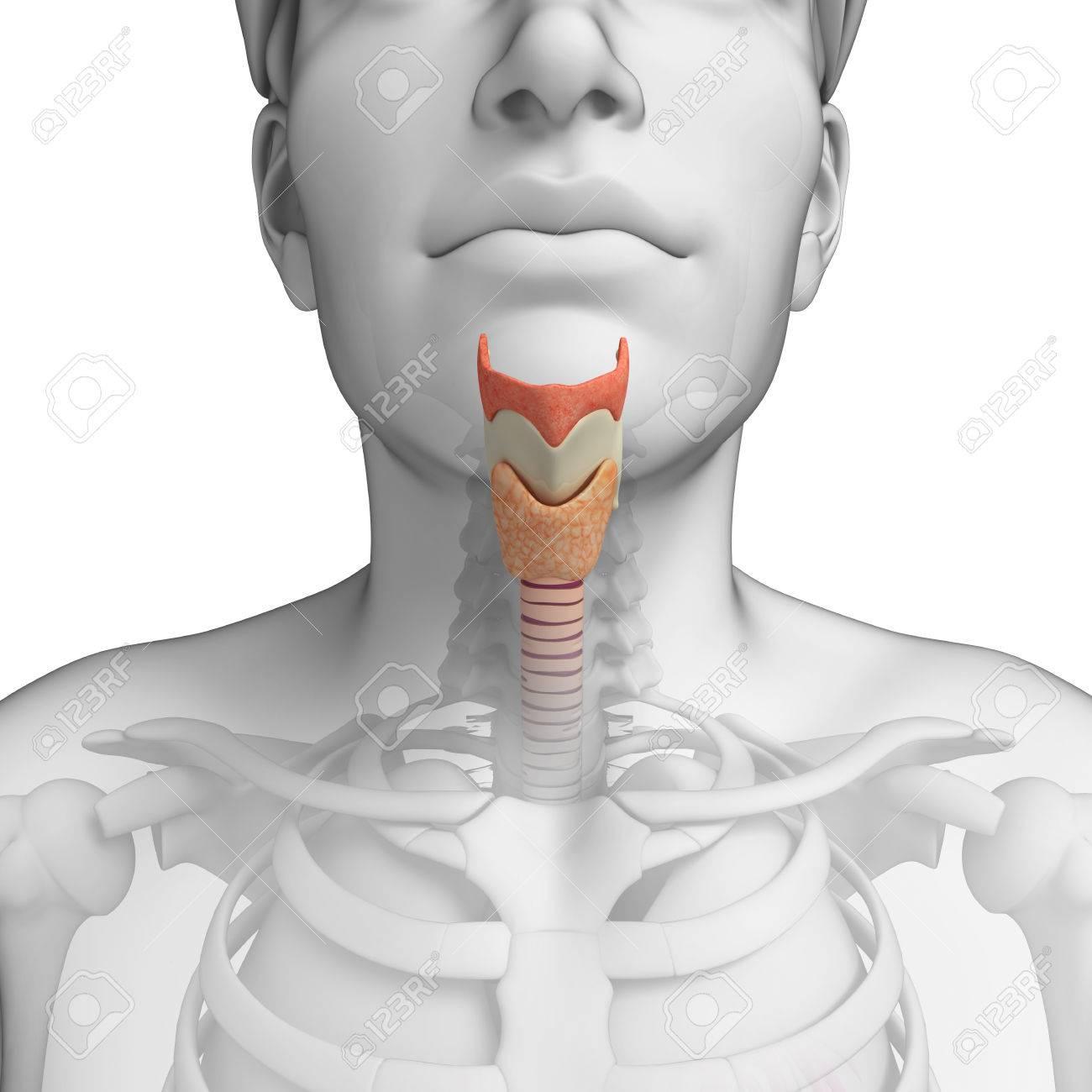 Illustration Der Männlichen Anatomie Hals Lizenzfreie Fotos, Bilder ...