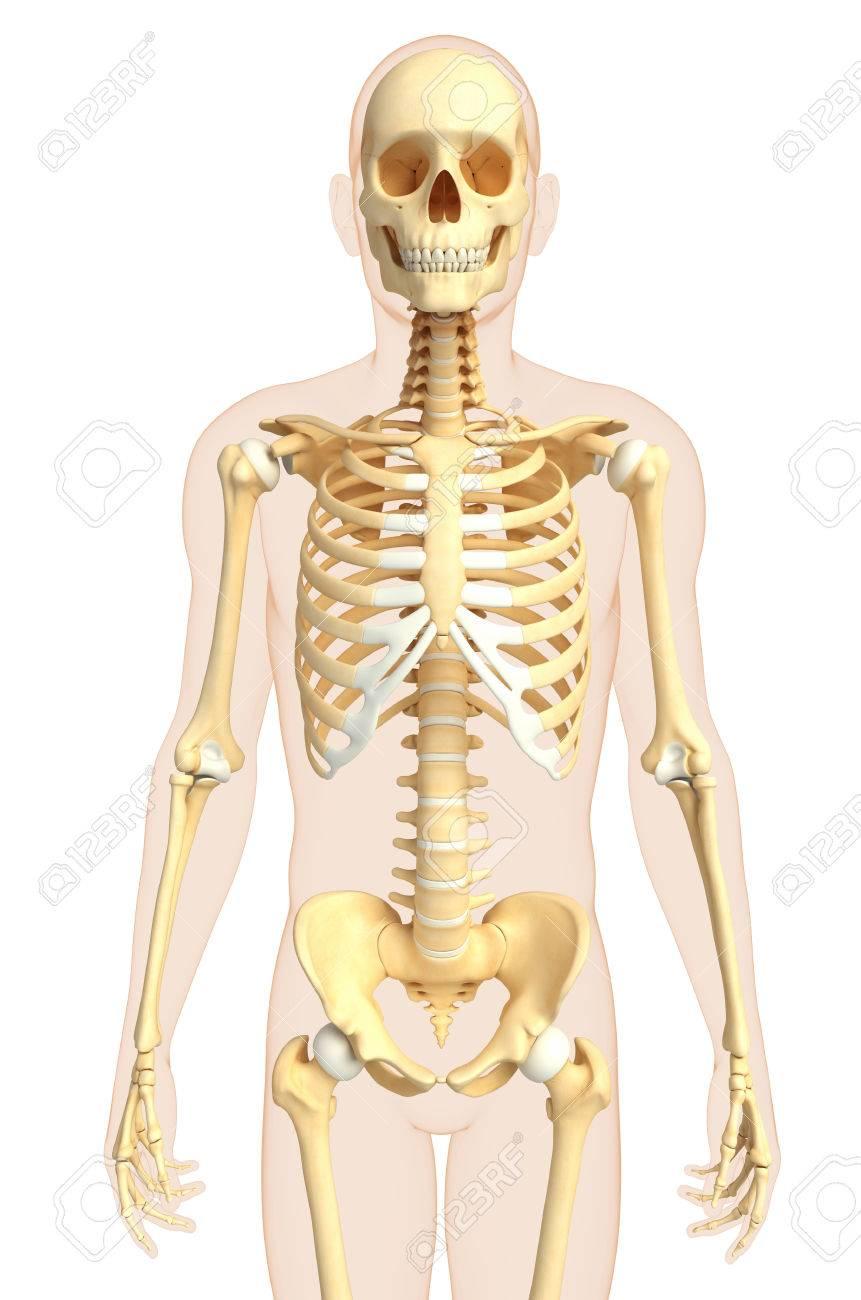Ilustración De La Vista Frontal Esqueleto Humano Fotos, Retratos ...