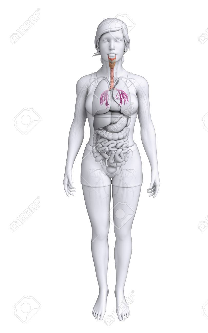 Illustration Of Female Throat Anatomy Stock Photo Picture And