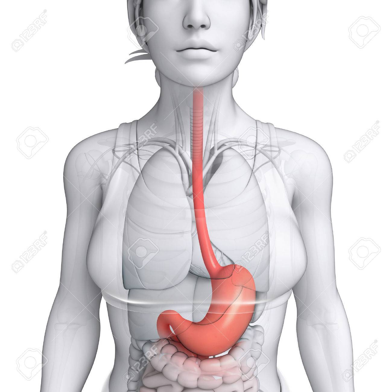 Illustration Of Female Stomach Anatomy Stock Photo, Picture And ...