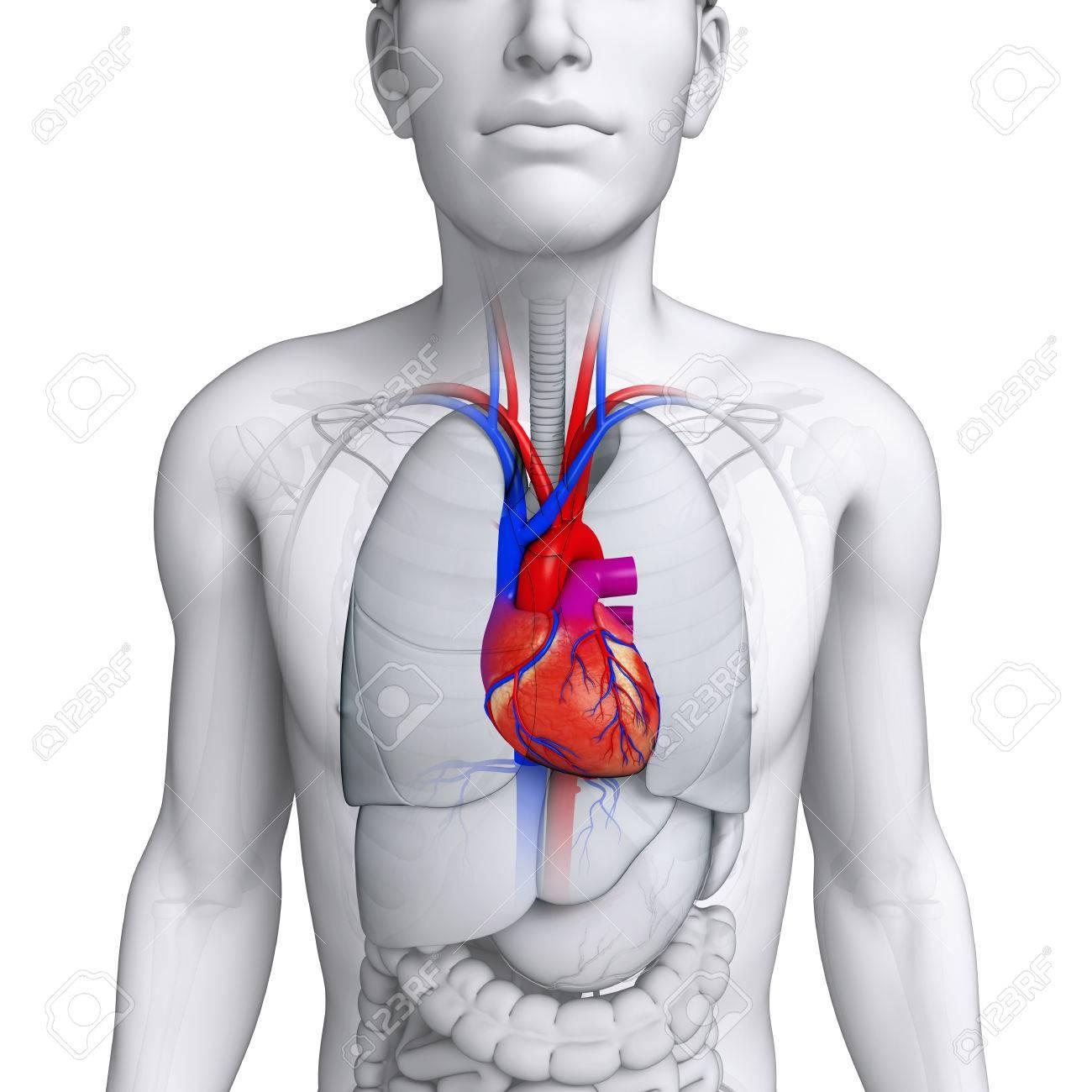 Ausgezeichnet Herzanatomie Diagramm Etikett Ideen - Anatomie Ideen ...
