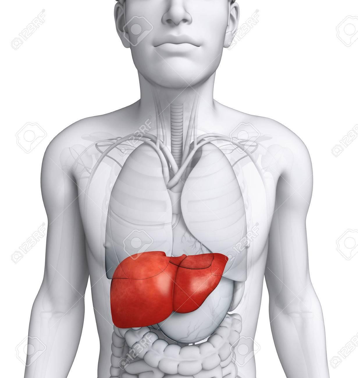Ilustración De La Anatomía Del Hígado Masculino Fotos, Retratos ...