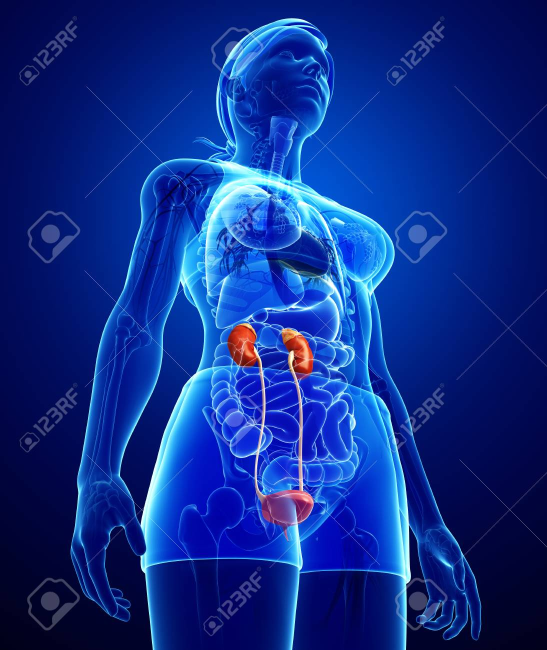 Illustration Of Female Urinary System Stock Photo Picture And