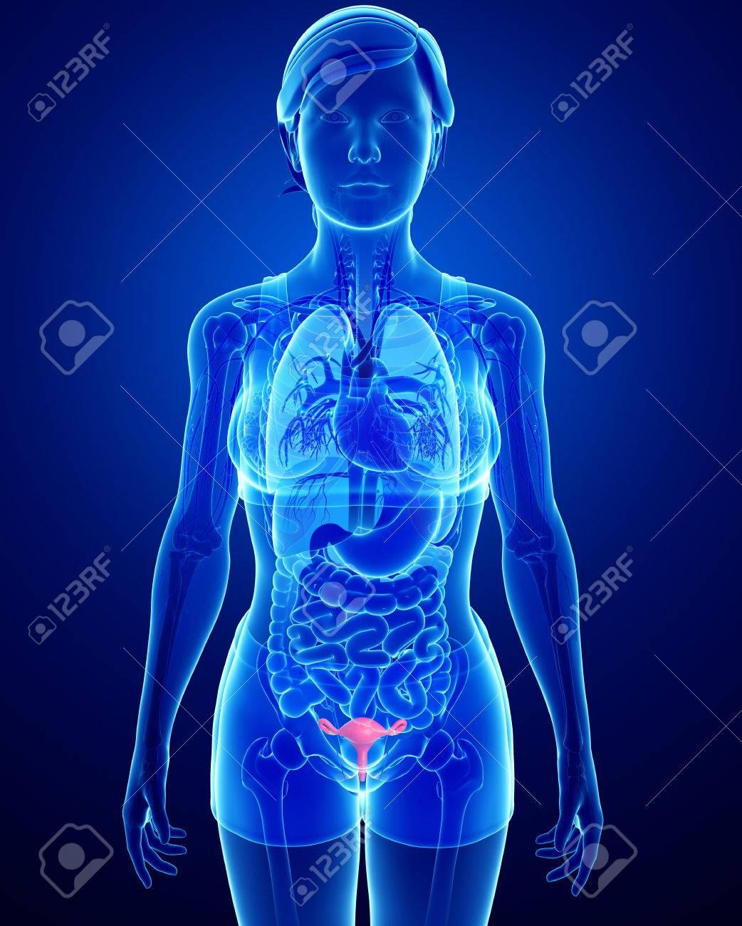 Hermosa Anatomía Del útero Fotos Galería - Imágenes de Anatomía ...