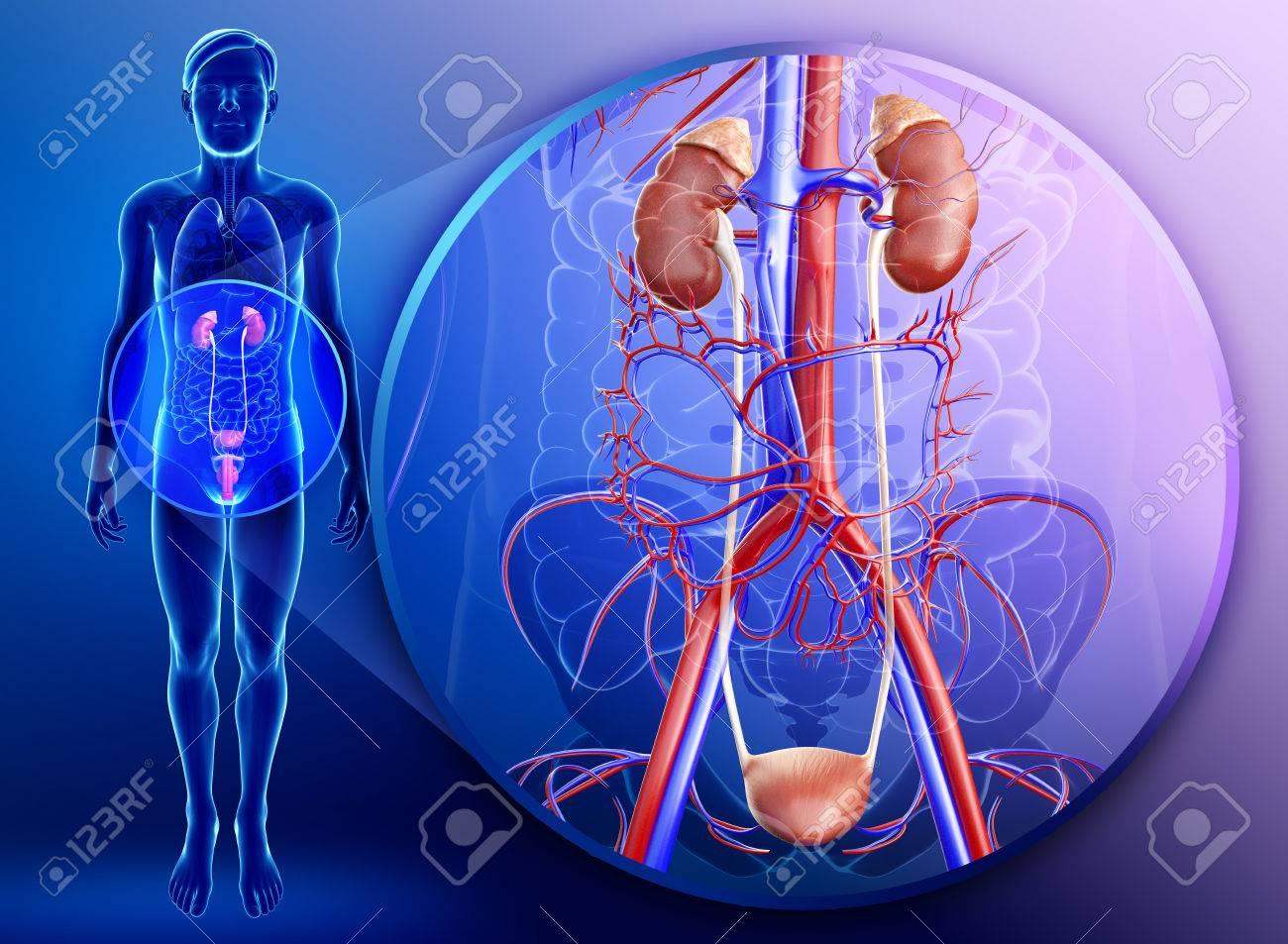 Illustration Der Männlichen Niere Anatomie Lizenzfreie Fotos, Bilder ...