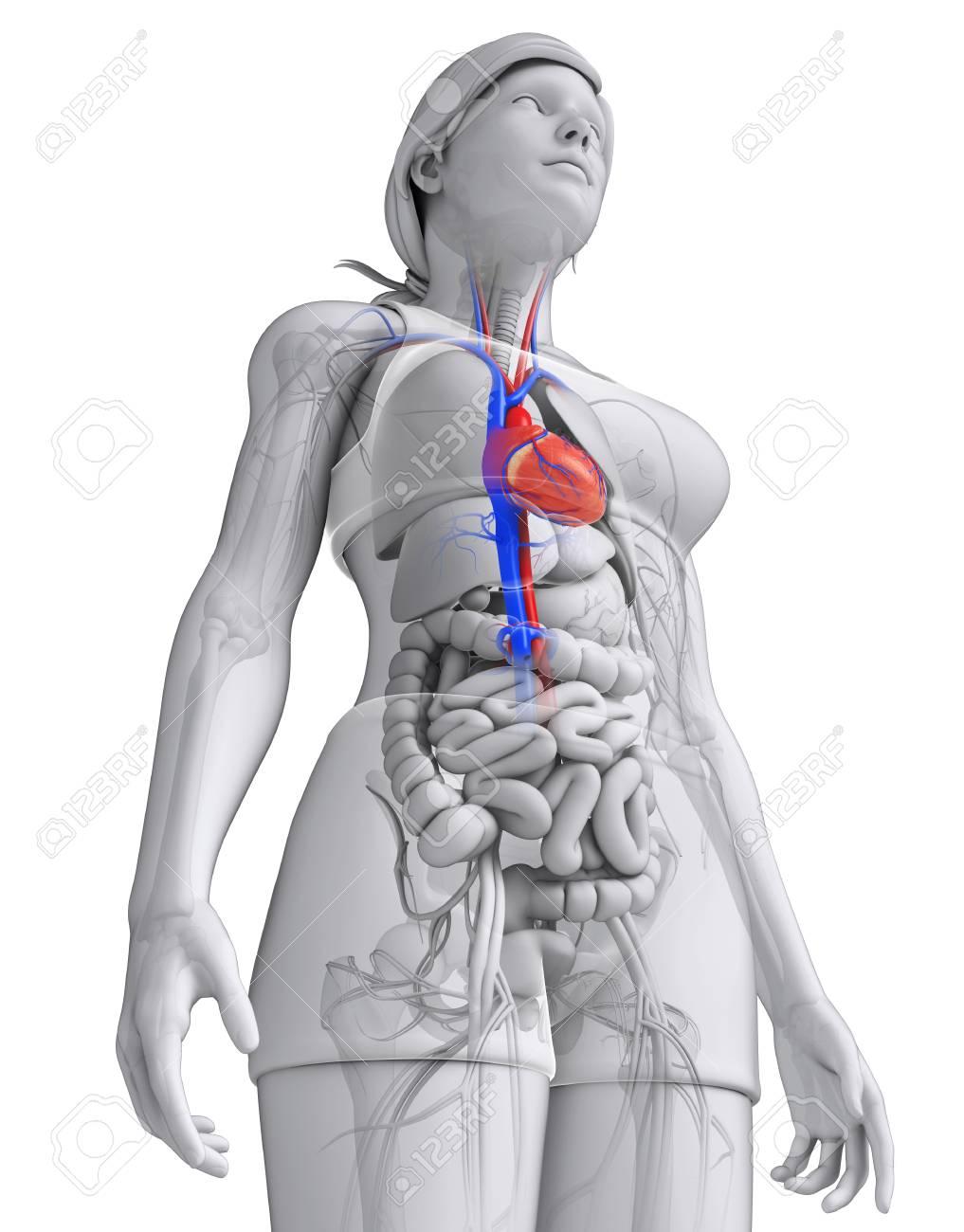 Ilustración De La Anatomía Del Corazón Mujer Fotos, Retratos ...