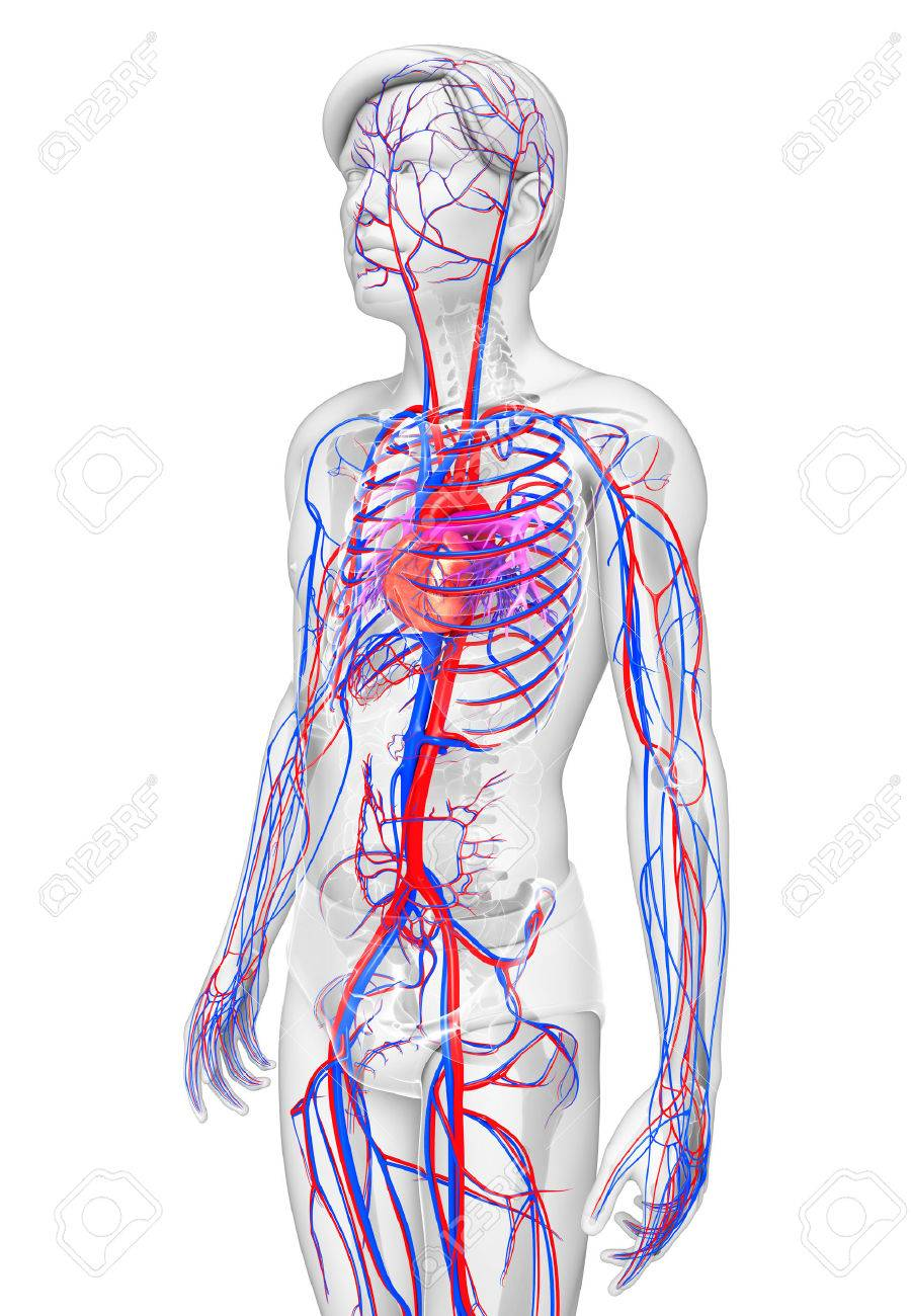 Ilustración Del Sistema Circulatorio Mujer Fotos, Retratos, Imágenes ...