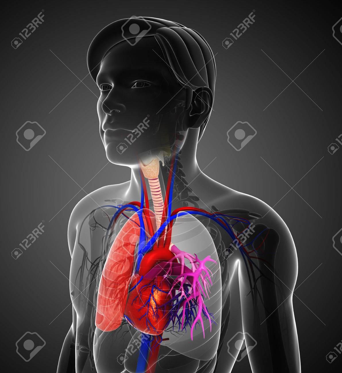 Ilustración De La Anatomía Masculina Pulmones Fotos, Retratos ...