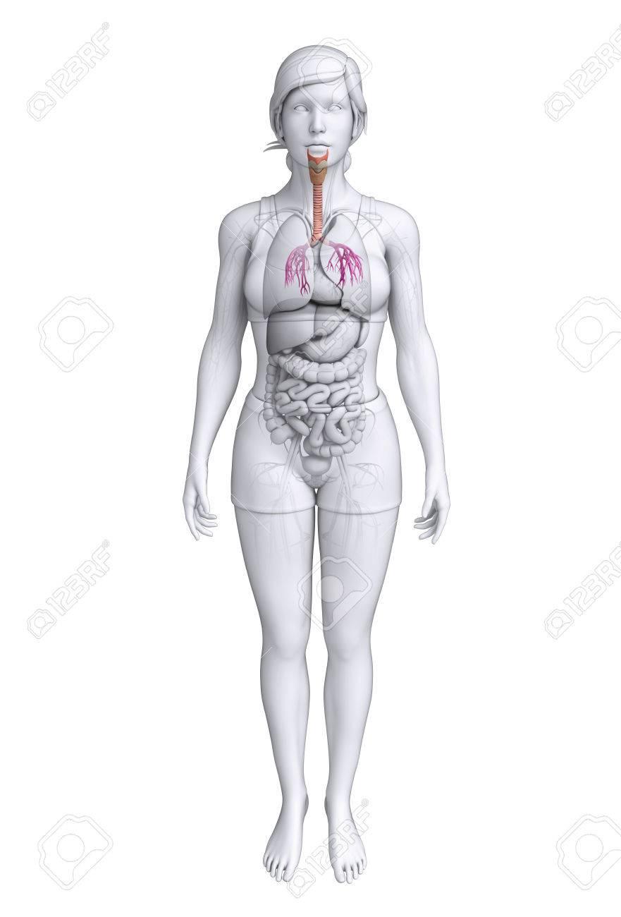 Ilustración De La Anatomía Femenina Garganta Fotos, Retratos ...