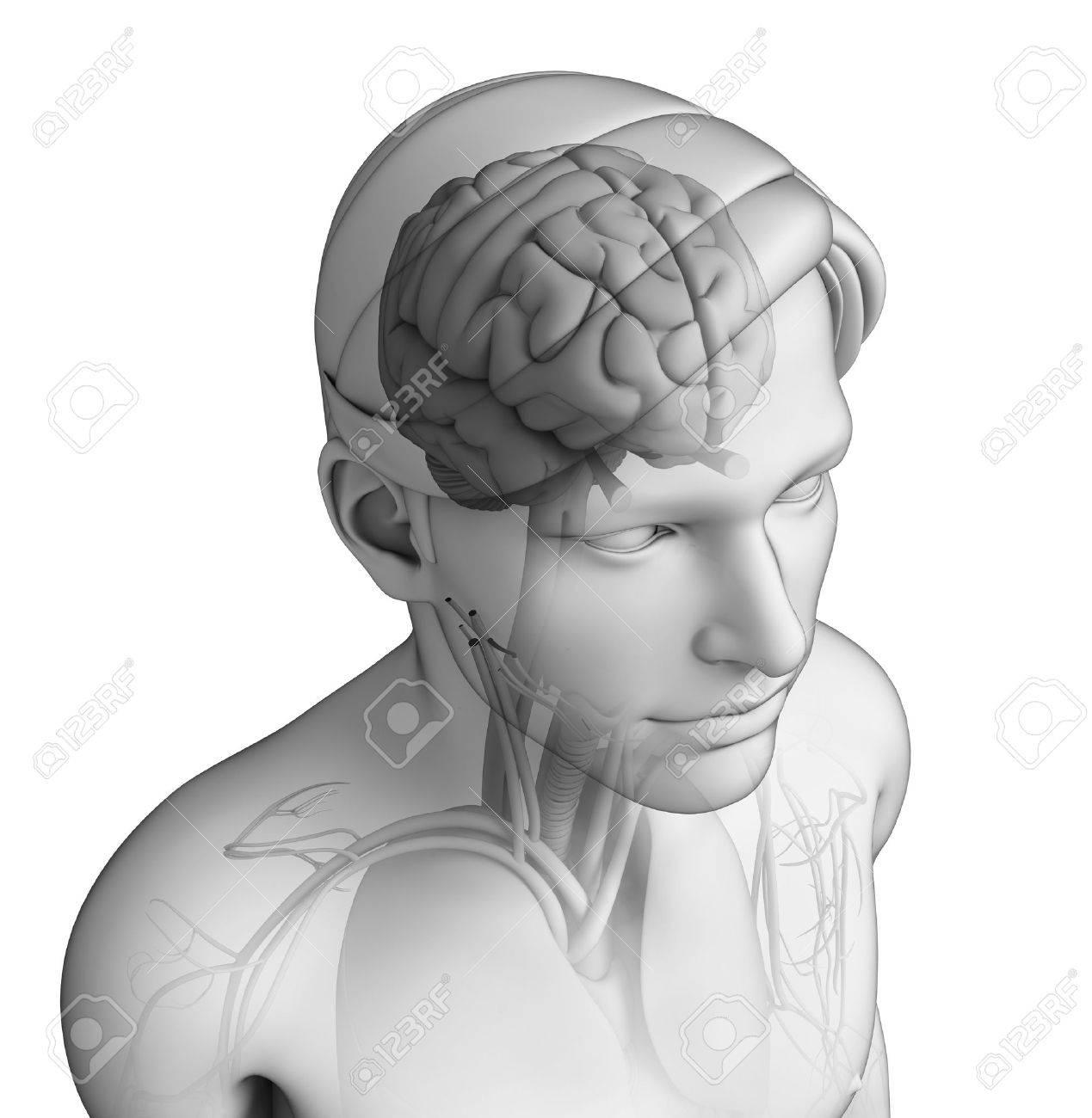 Ilustración De La Anatomía Cabeza Humana Fotos, Retratos, Imágenes Y ...