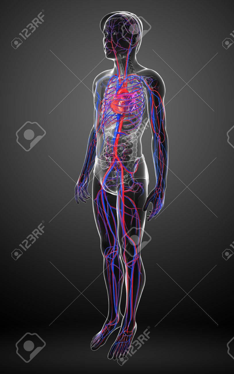 Niedlich Herz Kreislauf System Bild Fotos - Menschliche Anatomie ...