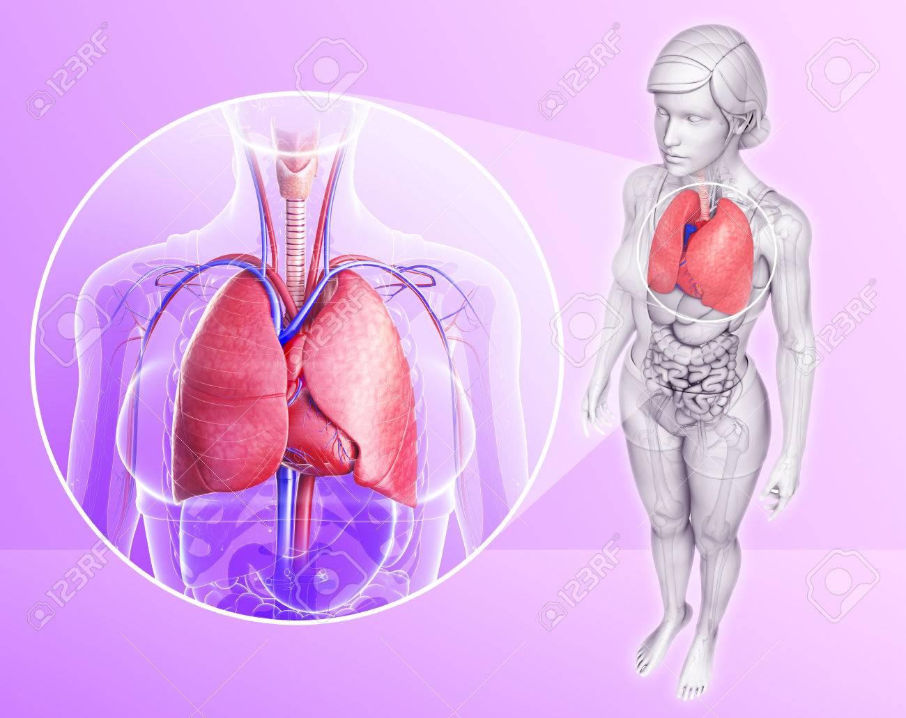 Ilustración De La Anatomía Humana Pulmones Fotos, Retratos, Imágenes ...
