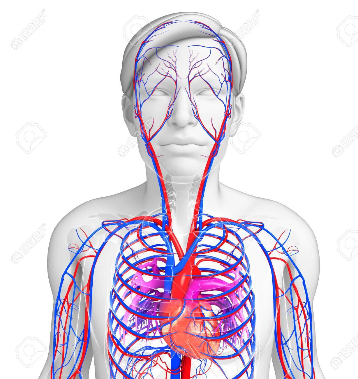 Fantastisch Herz Kreislauf System Teile Zeitgenössisch - Menschliche ...