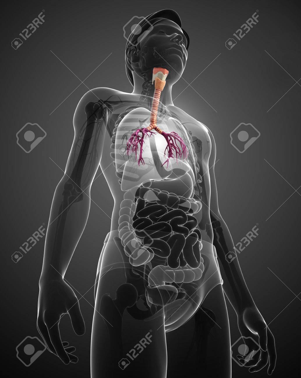 Ilustración De La Anatomía Masculina Garganta Fotos, Retratos ...